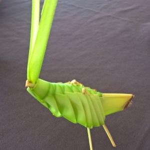 Costa Rica grasshopper